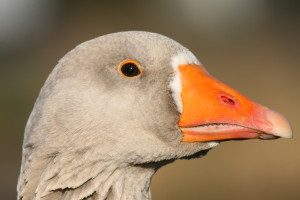 Close_up_grauwe_gans_3_vanderdenmaarrechtenvrij