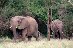 Afrikaanse_olifant_6_vanderdenmaarrechtenvrij