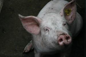 Varkens_in_biologische_stal_3_vanderdenmaarechtenvrij