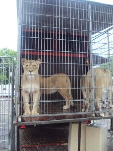 Leeuwen in hokjes 3